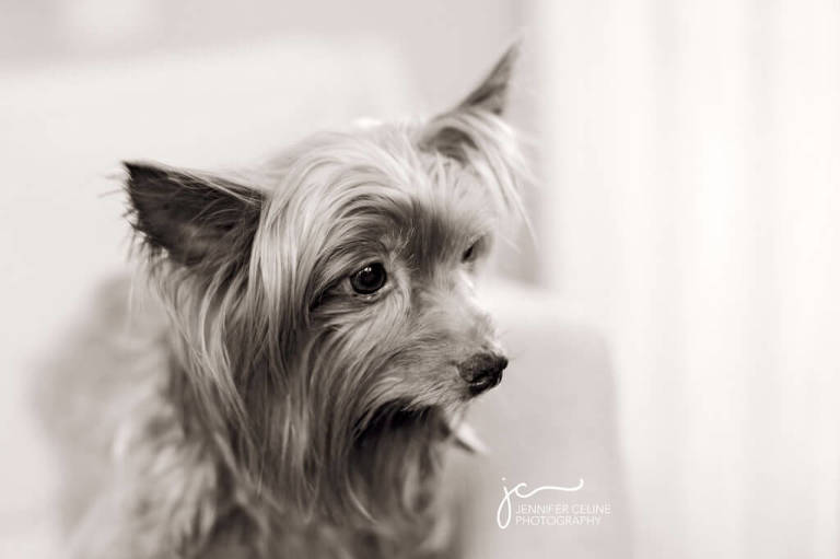 black and white profile portrait of a senior Yorkie dog