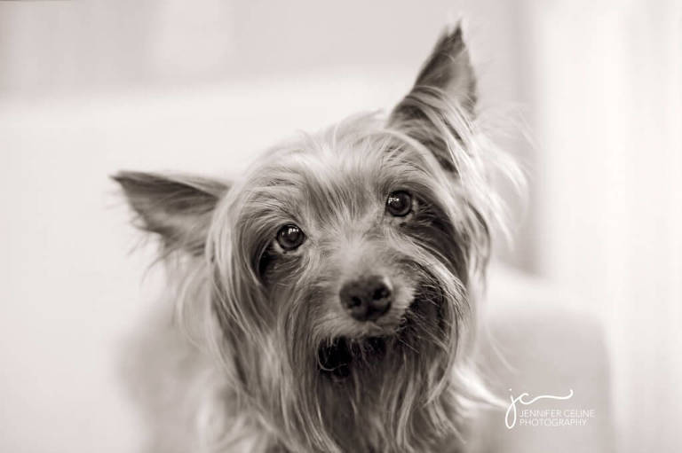 black and white portrait of a senior Yorkie dog